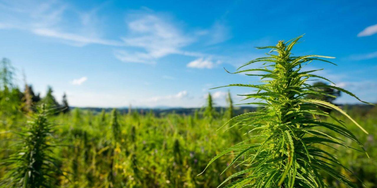 Canapa, cannabis e marijuana