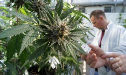 La nuova cannabis di stato, FM1