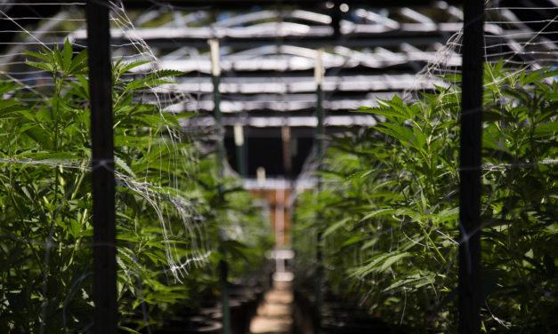 Cannabis, cannabis light, partiti, proposte e DDL in Italia
