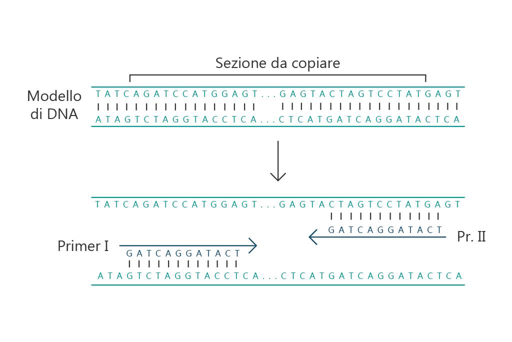 PCR-dna-polimerasi-primer