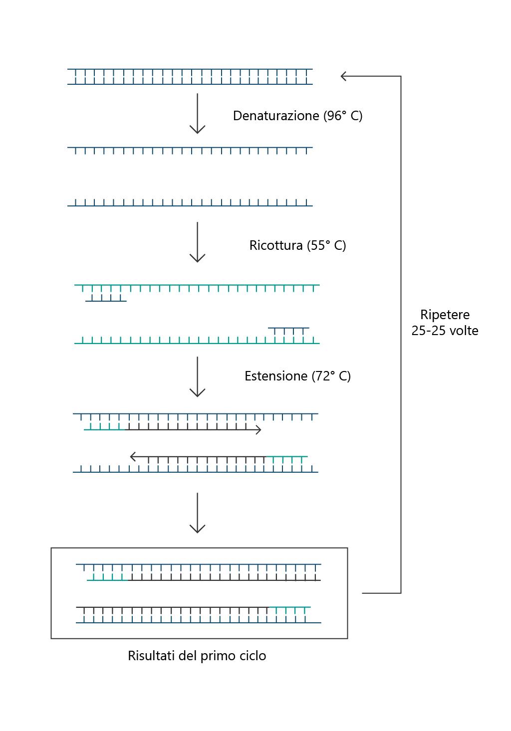 PCR-polimerasi-funzionamento