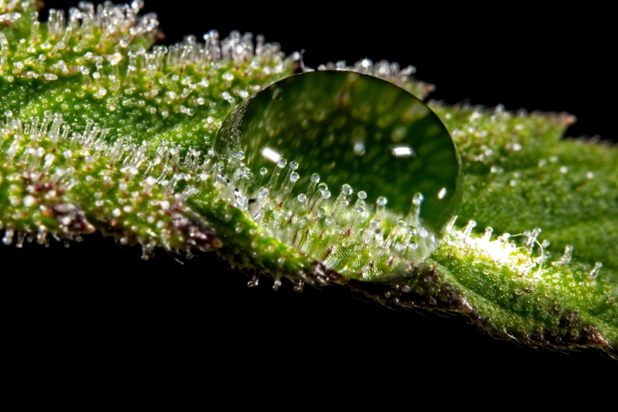 tricomi_cannabis_cannabinoidi