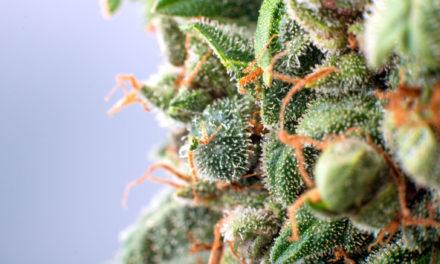 Chemovar, cannabinoidi, terpeni e standardizzazione
