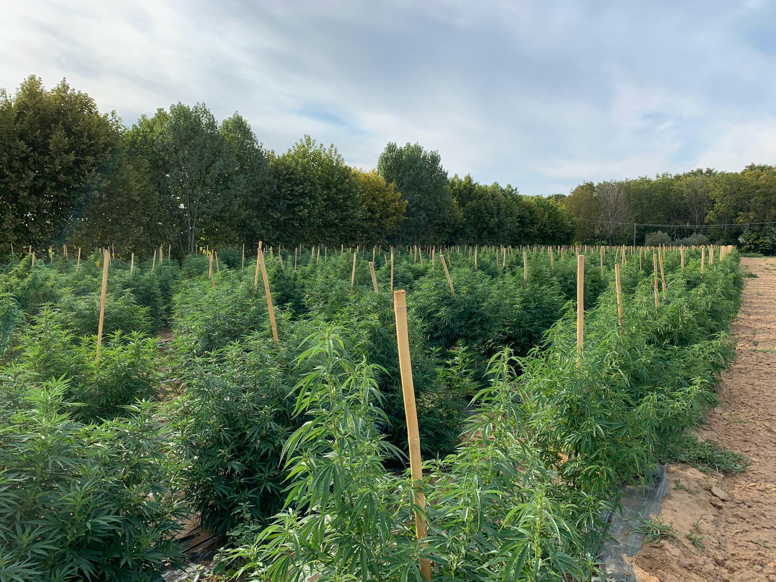 coltivazione_cannabis_canapa_real cbd