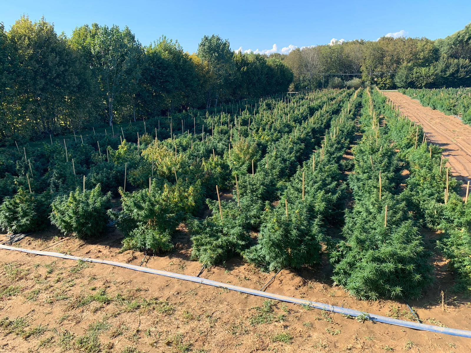 coltivazione_cannabis_real cbd